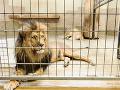Chvíle hrôzy a zdesenia v Česku: Otec uvidel syna medzi levmi... Hladné beštie mu nedali šancu