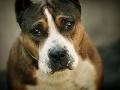 Škandál v Taliansku: Zločinci obchodovali s pašovanými psami zo Slovenska, zasiahla polícia