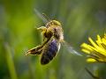 Roj včiel spadol žene zo stromu na hlavu: Do smiechu jej nebolo, išlo o život