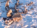 Pozostatky mamuta v Jakutsku starého tisícky rokov