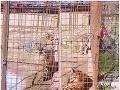 Autentické VIDEO Ženu (29) v Žiline uhryzol tiger, musela podstúpiť chirurgický zákrok!