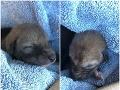 FOTO Psičkár si myslel, že našiel šteniatko: Veterinári ho vyviedli z omylu, sami boli v šoku