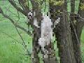 Lucia zažila počas prechádzky šok: FOTO Skántrené mačky viseli na stromoch ako trofeje
