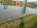 V bratislavskom jazere objavili nový vírus: Je za masívnym úhynom rýb