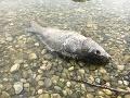 Úhyn rýb na Kuchajde a iných jazerách vyvolal paniku: TOTO je dôvod nešťastia