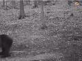Na snímke medveď, ktorý podľa poľovníkov hubára napadol.