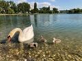 Verejnosť mohla labutiu rodinku obdivovať len krátko.