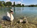 Labute sú ozdobou Štrkoveckého jazera.