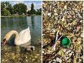 FOTO Smutný príbeh z Bratislavy: Pohľad na labutiu rodinku je minulosťou, až príliš krutý koniec