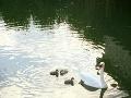Labutí samček sa o mláďatká vzorne stará.