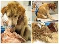Ďalší drastický prípad týrania: FOTO Pri Košiciach našli doráňaného psíka s larvami v ranách