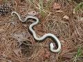 Úrady varujú pred hadom na FOTO: Ak ho uvidíte v takejto polohe, nepribližujte sa k nemu!