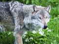 Ochranári zúria, ministerstvo zvozili pod čiernu zem: Strieľanie vlka považujú za nezmyselné zabíjanie