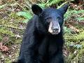 Úrad šerifa vo Washingtone rozhodol: Zabite to medvieďa, je priveľmi priateľské k ľuďom!