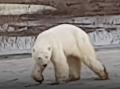 VIDEO, ktoré trhá srdce: Vyhladovaný medveď sa potuloval po Noriľsku, ruskí vedci zareagovali