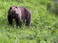 Nečakaná dráma v Slovinsku: Medveď zranil starenku (80) pri jej dome