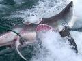 Desivé FOTO ukazujú žraločiu