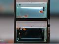 Väčšiu roztomilosť dnes neuvidíte: FOTO Milovník zvierat vytvára invalidné vozíky pre zlaté rybky