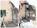 Opilec v zoo dostal hlúpy nápad a preliezol plot: Zážitok pre návštevníkov, VIDEO jazdy na žirafe