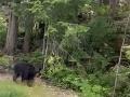VIDEO Žena si bola ráno zabehať: Začal ju prenasledovať medveď, takto sa ho zbavila