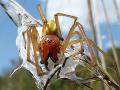 Uhryznutie jedovatým pavúkom v Stupave vyvolalo strach: Odborníci upokojujú Slovákov