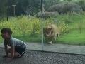 VIDEO Chlapec si išiel do zoo pozrieť leva: Zistil, aké to je, keď vás chce zožrať