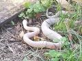 Hororový nález neďaleko Prahy: FOTO Okolie vydesil had - albín, majiteľka má problém