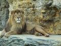 Lev berberský. Národná zoo