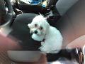 Majiteľka nechala psa v rozhorúčenom aute a odišla nakupovať.