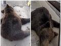 FOTO Vodič na diaľnici medzi Žilinou a Bytčou zrazil medveďa, čo tam šelmu vyhnalo z hôr?