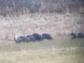 Unikátne VIDEO z Oravy: Jánovi pred očami prebehla medvedia rodinka