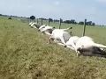 VIDEO Farmár na tento pohľad nikdy nezabudne: Desiatky mŕtvych kráv zoradených do jedného radu
