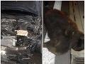 Vodičovi vbehol pod kolesá medveď: Mrazivé FOTO po tvrdom náraze, nepodceňte rady polície