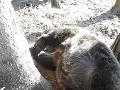 V nedeľu bol usmrtený ďalší medveď hnedý.