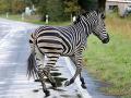 Zebry utiekli z cirkusu: Jedna spôsobila dopravnú nehodu, druhú polícia chytila