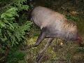 FOTO Pytliaci opäť úradovali v slovenských lesoch: Zastrelené jelene už rieši polícia