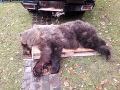 Zrazený medveď v Prievidzi.