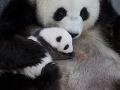 VIDEO Pandie mláďatá v berlínskej zoo po prvý raz otvorili oči: FOTO, ktoré vám zlepší deň