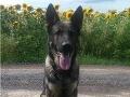 FOTO Policajný pes vypátral muža, ktorý utiekol od dopravnej nehody: Neuveríte, kde sa schovával