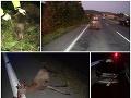 Vodič zrazil medveďa: FOTO Veľké varovanie polície, v súčasnom období sa to pri cestách hemží zverou