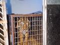 VIDEO Do zoo priviezli z poľsko-bieloruských hraníc deväť tigrov: Sú v hroznom stave