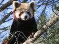 Z francúzskej zoologickej záhrady utiekla panda červená: Prekvapila motoristu, prosba o pomoc