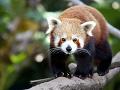 Zo zoo utiekla vzácna panda! Neuveríte, ako sa jej podarilo dostať von