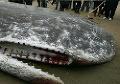 Veľký šok pre Londýnčanov: Pod jedným z mostov našli mŕtvu gigantickú veľrybu