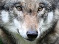 Bude sa na Slovensku loviť vlk? Medzirezortná skupina o tom rokovala niekoľko hodín