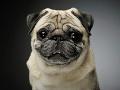 Snímka z magnetickej rezonancie mopslíka pripomína strašidelné čudo, tieto psy hrozne trpia