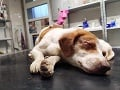 Ľudská krutosť nepozná hranice: FOTO Zúbožený pes deň po Vianociach, oči mu vypálili kyselinou