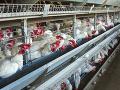 V Číne je ďalší vírus: Utratili 18.000 kureniec ohrozených vtáčou chrípkou