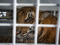 Prežili peklo! Vytrhané zuby aj pazúre... VIDEO Zúbožené tigre a levy zachránili z cirkusov hrôzy