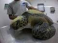 FOTO Rybári zachránili korytnačku: Veterinári sú zhrození z toho, čo z nej niekoľko týždňov vychádza